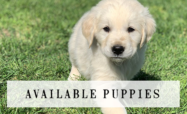 SunKissed Goldenz Available Puppies